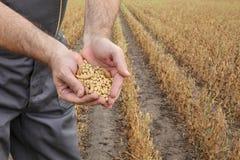 Średniorolna egzamininuje soi bobowa uprawa w polu Zdjęcie Royalty Free