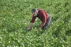 Średniorolna egzamininuje soi bobowa uprawa w polu Obraz Stock