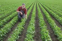 Średniorolna egzamininuje soi bobowa uprawa w polu Obrazy Royalty Free