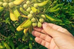 Średniorolna zrywanie oliwka lubi owoc od oleaster krzaka Obraz Royalty Free