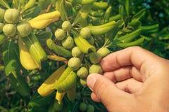 Średniorolna zrywanie oliwka lubi owoc od oleaster krzaka Zdjęcia Stock