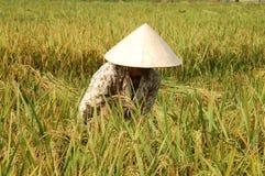 średniorolni tnące ryżu Obraz Stock