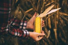 Średniorolny agronom trzyma kukurydzanego ucho na cob Fotografia Royalty Free