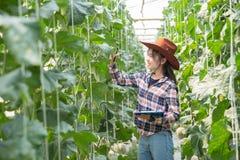 ?redniorolny kontroluje melon na drzewie Poj?cia podtrzymywalny utrzymanie, plenerowa praca, kontakt z natur?, zdjęcie royalty free