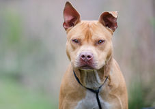 Rednose amerikanPitbull Terrier hund, Walton County Animal Shelter Arkivfoto