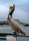Redondo Beach California Pelican Stock Photo