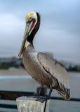 Redondo Beach Kalifornien pelikan Arkivfoto