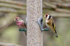 Redpoll и Goldfinch на фидере Стоковое Изображение RF