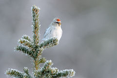 Redpoll. In top of pine tree Royalty Free Stock Images
