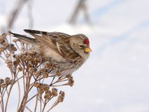 Redpoll. Common Redpoll sit on wormwood Stock Photos