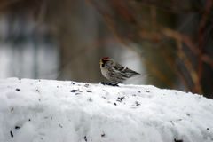 Redpoll Royalty Free Stock Photography