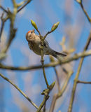 Redpoll images stock