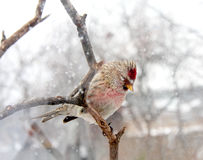 Redpoll Stock Images