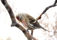 Redpoll Royalty Free Stock Images