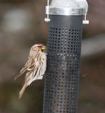 Redpoll bird Royalty Free Stock Image