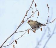 Redpoll bird stock photo
