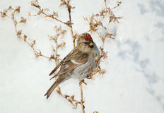 Redpoll bird sitting on a branch Royalty Free Stock Photo