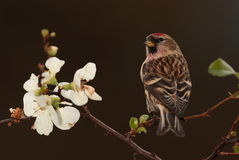 Redpoll   bird. Royalty Free Stock Images