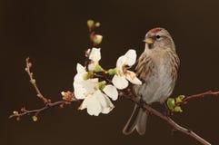 Redpoll   bird. Royalty Free Stock Image
