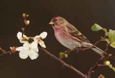 Redpoll   bird. Stock Images