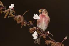 Redpoll   bird. Stock Image