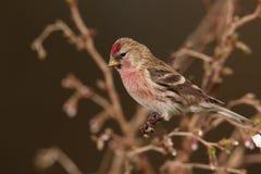 Redpoll   bird. Royalty Free Stock Photos
