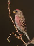 Redpoll   bird. Royalty Free Stock Photography
