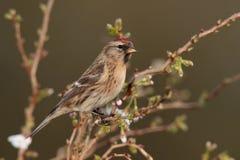 Redpoll   bird. Stock Photos