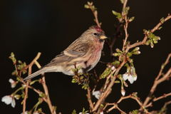 Redpoll   bird. Royalty Free Stock Photo