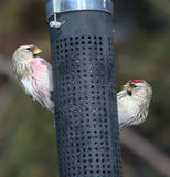 Redpoll birds at feeder Stock Image