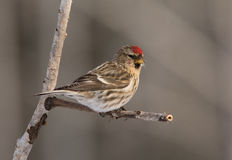redpoll commun Photographie stock libre de droits