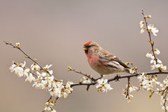 Redpoll commun de mâle (Carduelis Flammea) photo stock