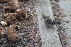 Redpoll comune fotografie stock