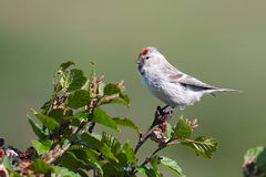 Redpoll male Royalty Free Stock Images