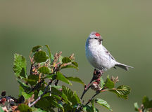 Redpoll male Royalty Free Stock Photo