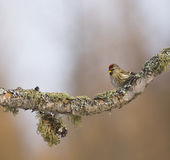 Redpoll On Mossy Branch Royalty Free Stock Image