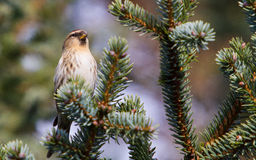 Redpoll in spring Stock Images