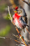 Redpoll Royalty Free Stock Photo