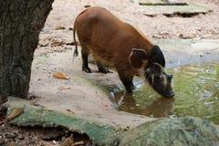 Redriver gödsvin i zoo royaltyfria foton
