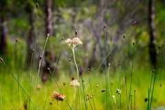 Redroot-Samen-Köpfe auf dem Grasland Lizenzfreies Stockbild