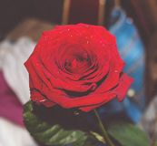 Redrose stock images