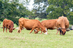 Reds cows and calf in a pasture. Red brood cows and calf in a pasture Royalty Free Stock Photo