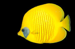 Redsea butterflyfish Stock Photography