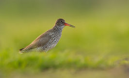 Redshank Royalty Free Stock Images