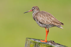 Redshank. On a pole (Tringa totanus Royalty Free Stock Images