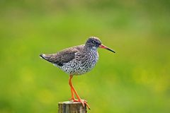 A redshank. Tringa Totanus, on Iceland busy with a red herring Royalty Free Stock Photo