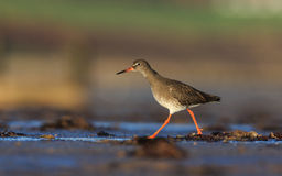Redshank Foto de Stock