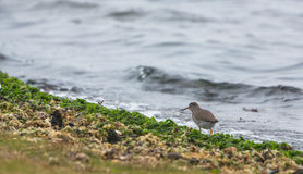 Redshank at the beach Stock Photography