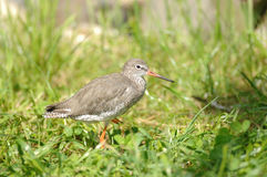 Redshank bird Stock Image
