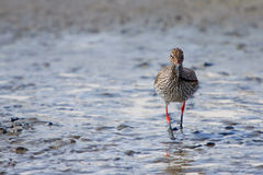 Redshank bird standing in the water Royalty Free Stock Image